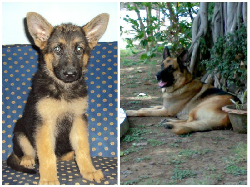Rustam-German-Shepherd-SoboDiaries